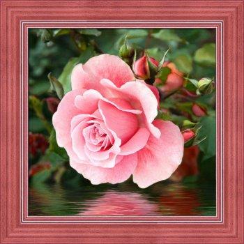 Роза у воды