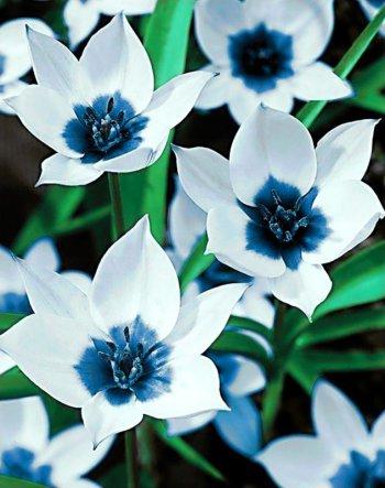 Синеглазые тюльпаны