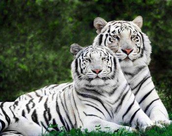 Влюбленные тигры